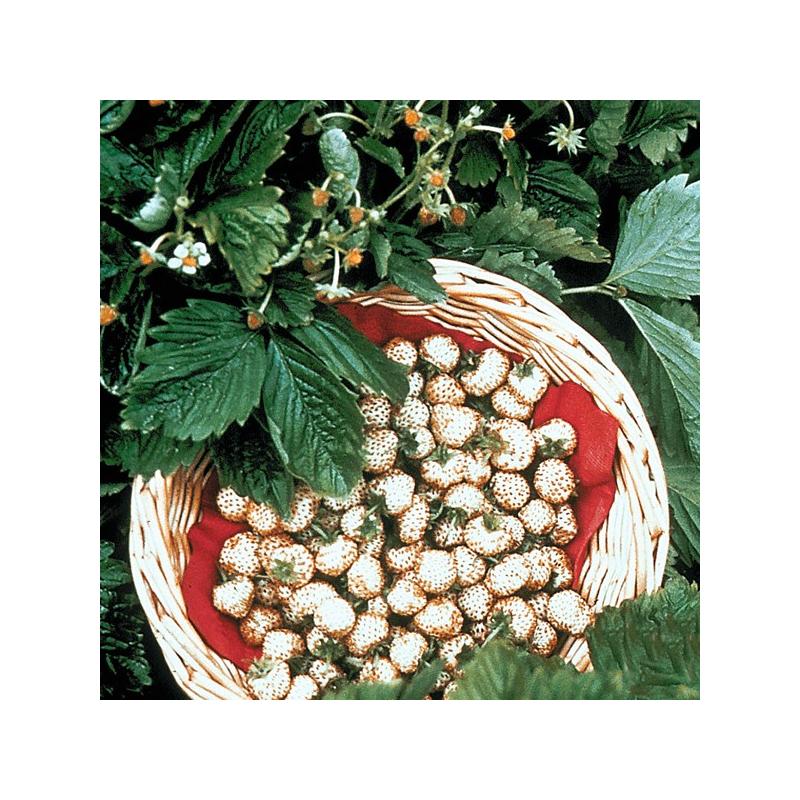 fraisiers des alpes plantation en pot facile